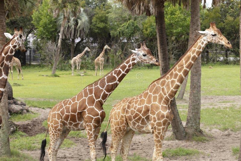 Paar van Giraffees royalty-vrije stock afbeeldingen