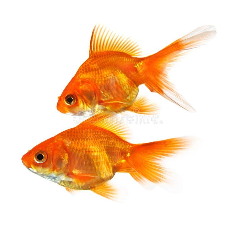 Paar van goudvis stock afbeeldingen