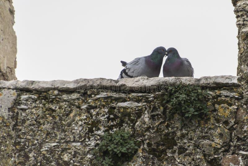 Paar van het cooing van duiven stock fotografie