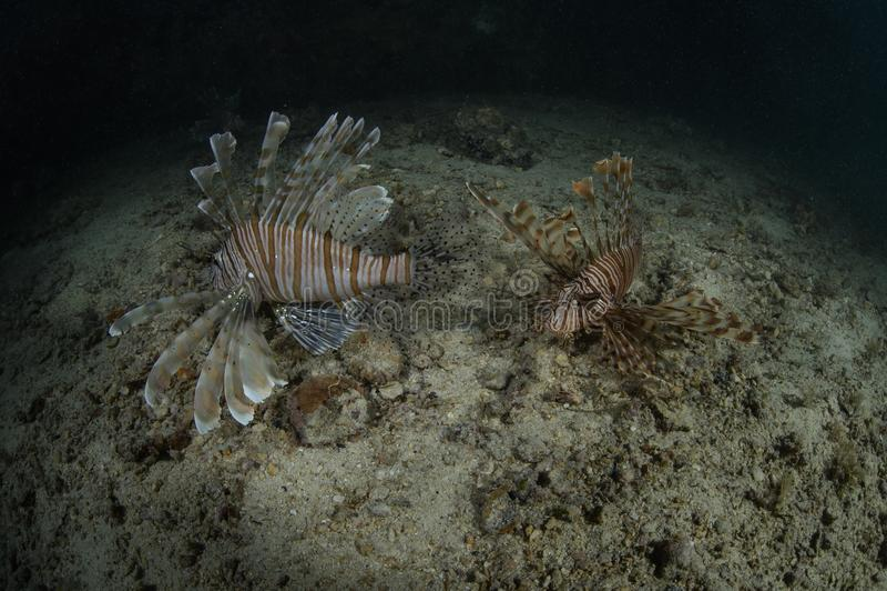Paar van het mooie lionfish zwemmen stock fotografie