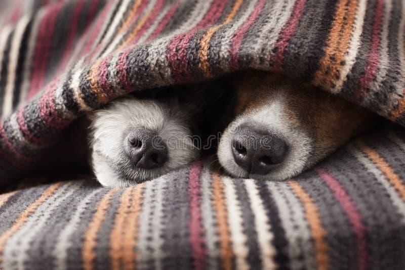 Paar van honden stock afbeelding