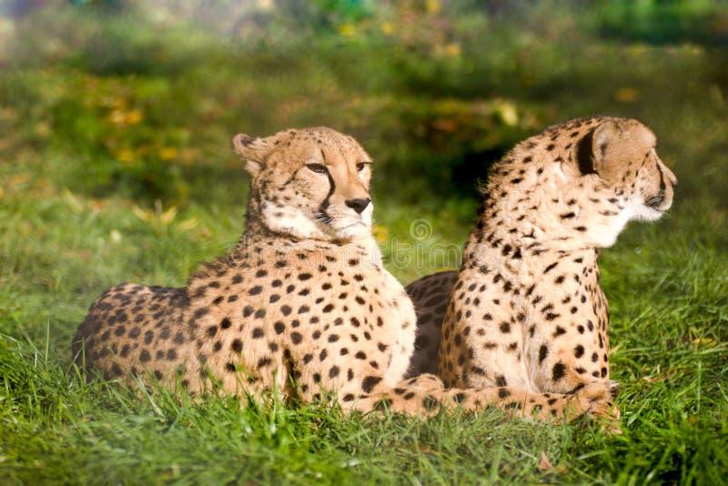 Paar van jachtluipaarden royalty-vrije stock afbeeldingen