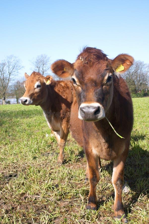 Paar van Jersey koeien royalty-vrije stock afbeelding