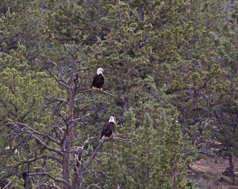 Paar van Kaal Eagles die in Pijnboom Forest Trees zitten royalty-vrije stock foto's