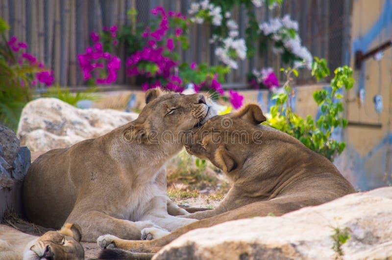 Paar van leeuwen het kussen stock afbeeldingen