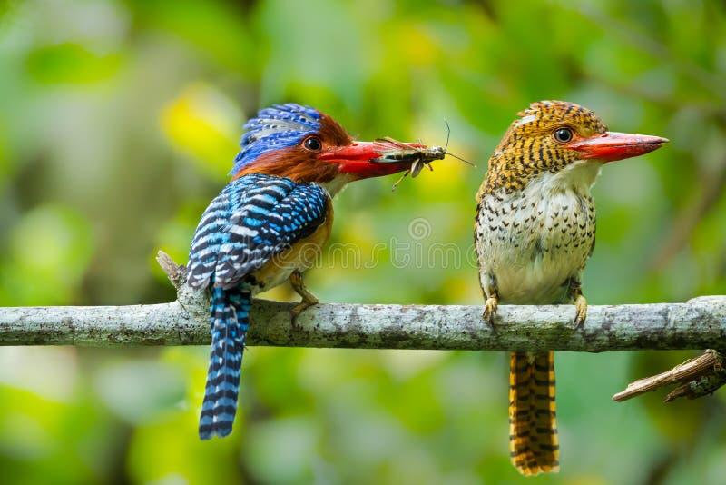 Paar van liefde van Gestreepte Ijsvogel royalty-vrije stock afbeelding