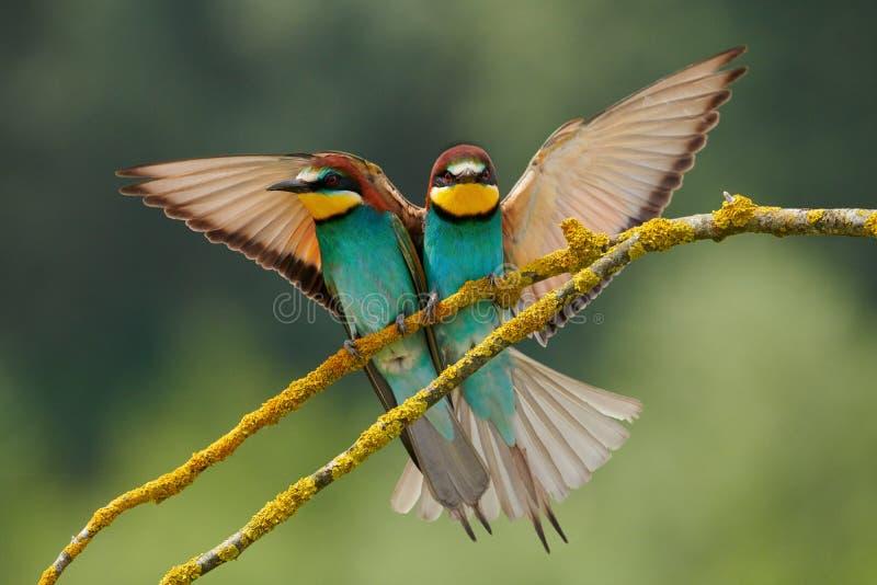 Paar van mooie Europese bij-eter Merops apiaster stock afbeelding