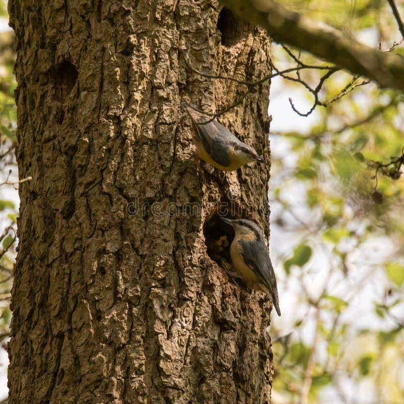 Paar van nuthatches europaea van Sitta door nestgat stock foto's