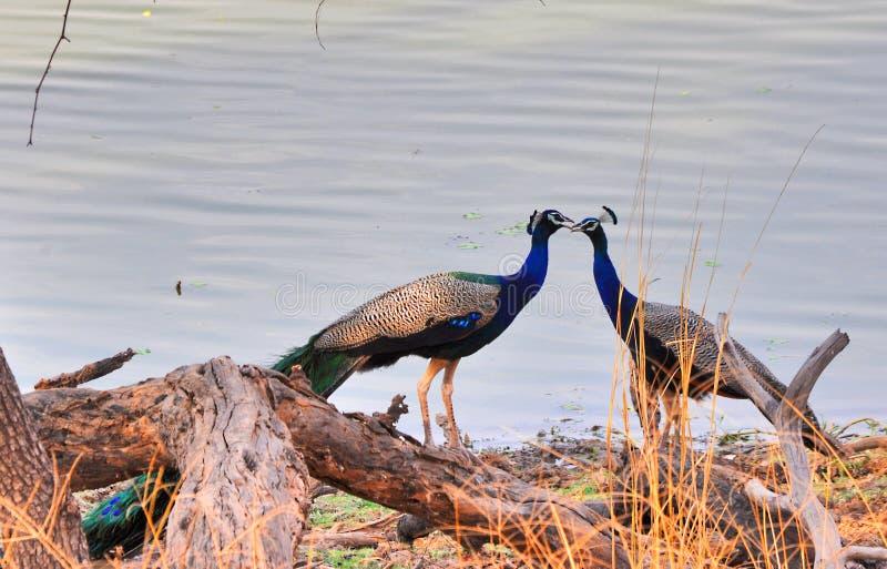 Paar van peafowl royalty-vrije stock fotografie