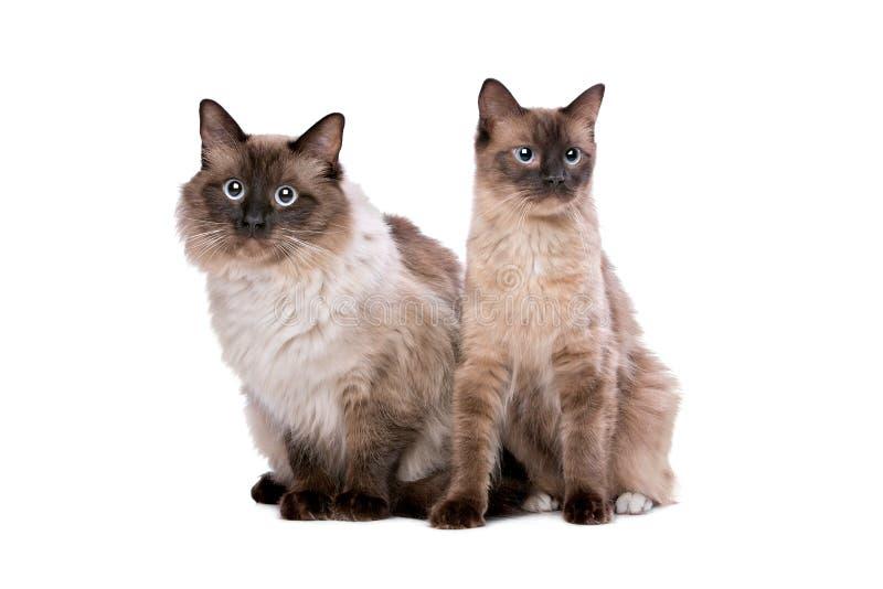 Paar van Ragdoll-katten stock foto