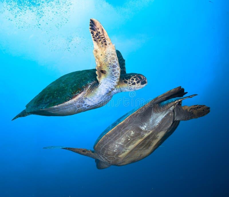 Paar van Reuzeschildpadden royalty-vrije stock foto