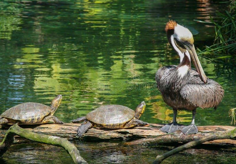 Paar van schildpadden en een Pelikaan stock fotografie