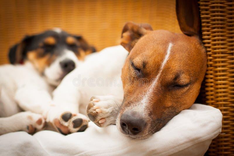 Paar van twee honden in liefde stock afbeelding