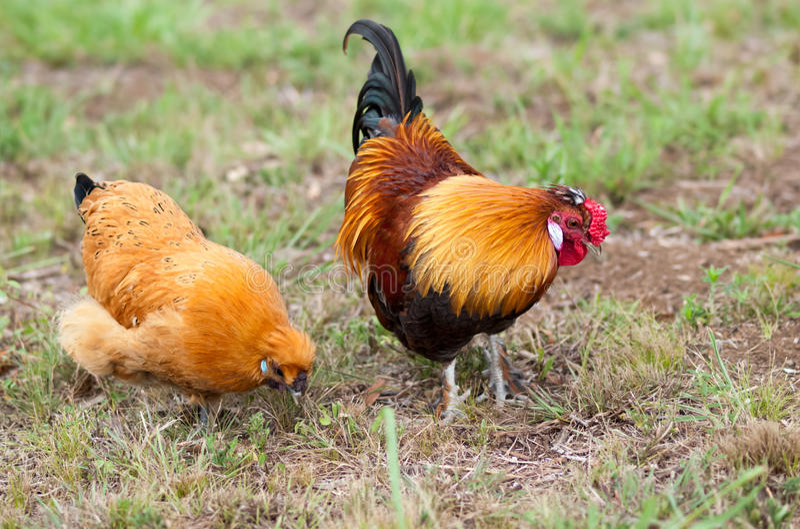 Paar van twee Kleine kippenfoerage voor voedsel stock afbeeldingen