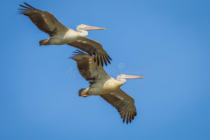 Paar van vlek-Gefactureerde pelikaan stock afbeeldingen