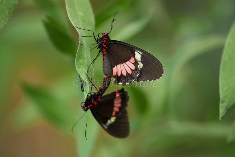 Paar van Vlinders Heliconus op groen blad royalty-vrije stock fotografie