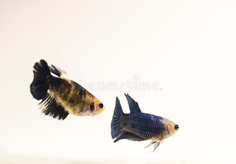 Paar van Vrouwelijk Buitensporig Koi Siamese Fighting Fish stock afbeelding