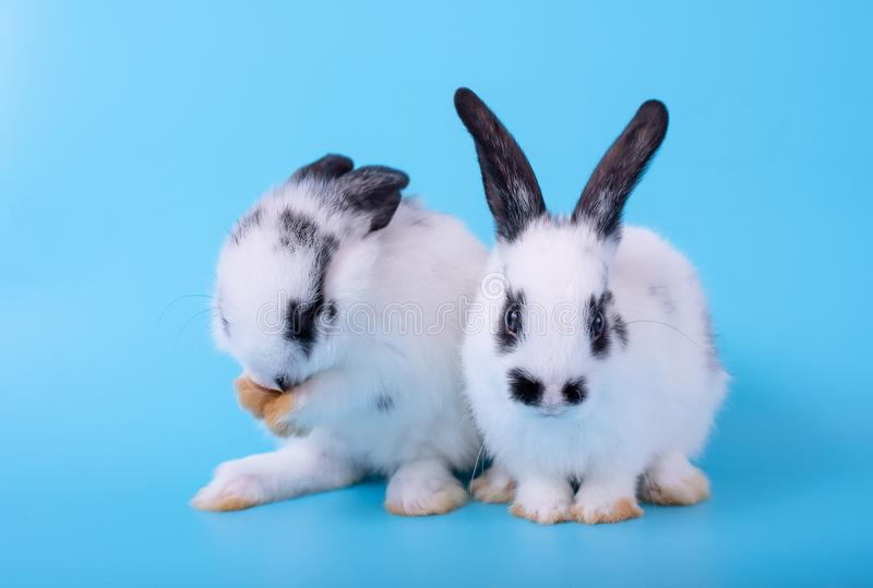 Paar van weinig zwart-wit konijntjeskonijn met verschillende acties betreffende blauwe achtergrond stock afbeelding