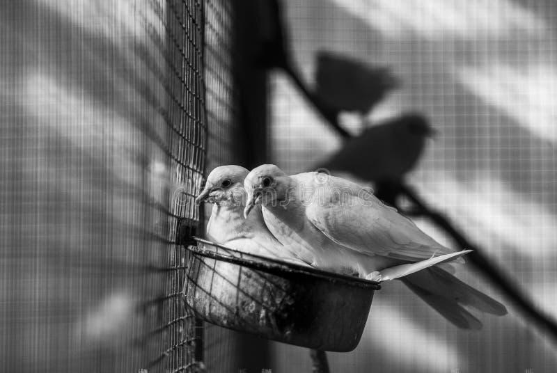 Paar van witte duiven royalty-vrije stock foto's