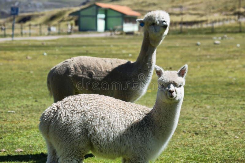 Paar van witte harige Alpaca stock foto's