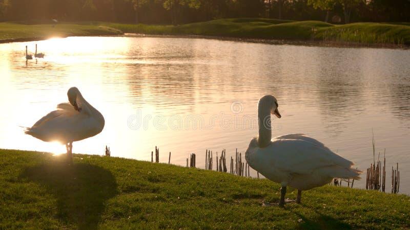 Paar van witte zwanen bij zonsondergang stock foto's