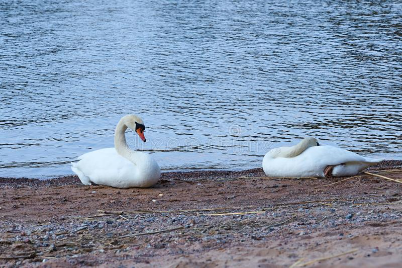 Paar van witte zwanen op een nat zandig strand stock afbeeldingen