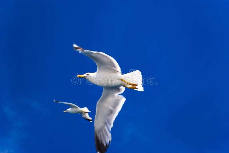 Paar vliegende zeemeeuwen stock foto's