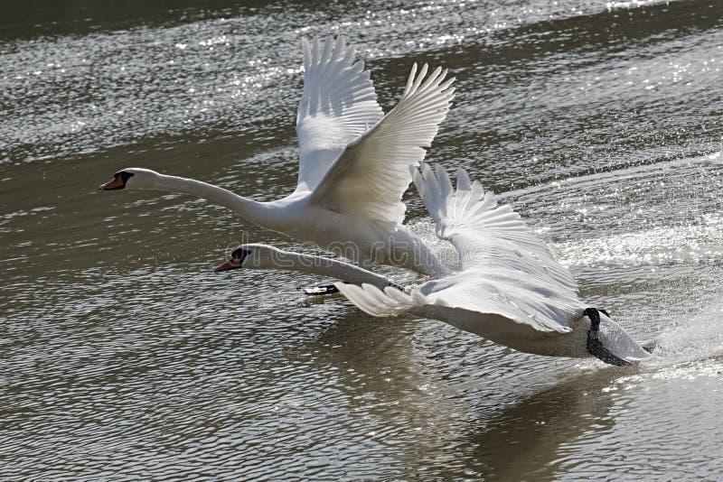 Paar volwassen stodde zwanen Cygnus die Olor hun vlucht van waterlijn beginnen van rivier Vah, Slowakije stock afbeelding