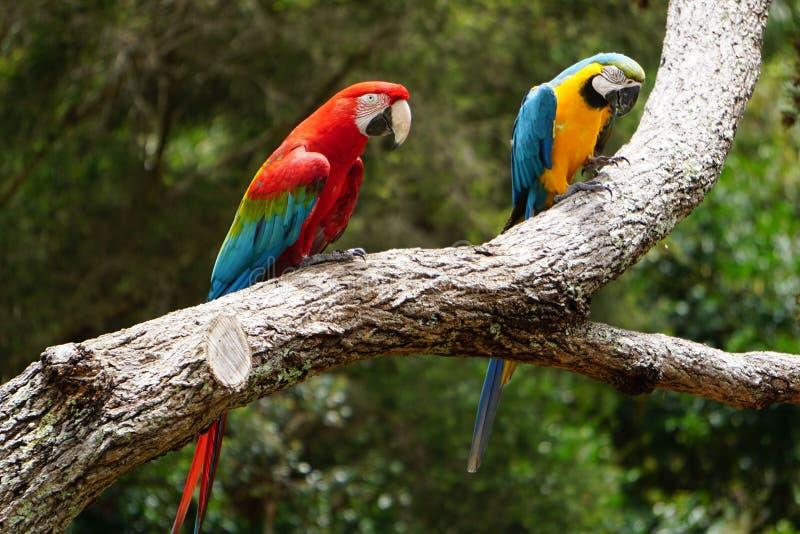 Paar vrij kleurrijke ara's royalty-vrije stock foto
