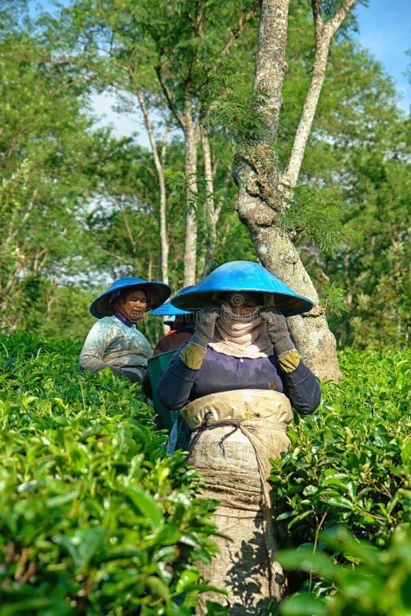 Paar vrouwelijke landbouwers die theebladen oogsten royalty-vrije stock afbeeldingen