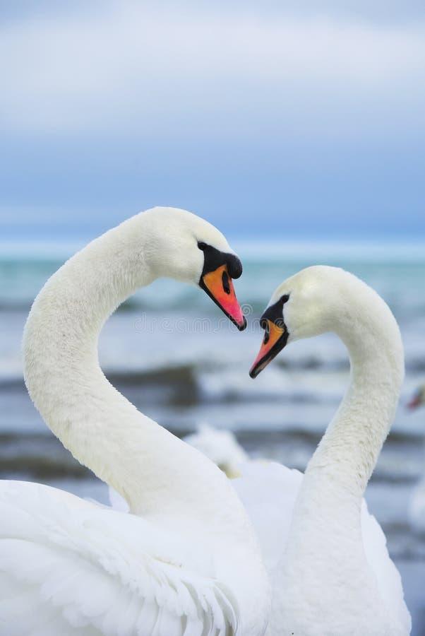 Paar witte zwanen stock fotografie