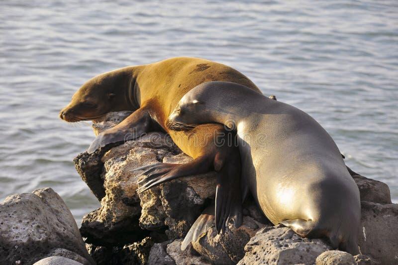 Paar Zeeleeuwen op een rots royalty-vrije stock foto