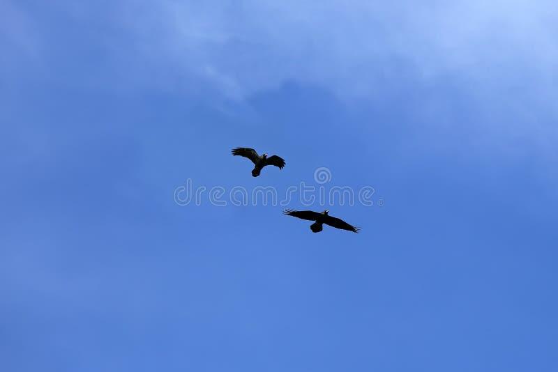 Paar Zwarte Raven op Blauwe Hemel stock fotografie