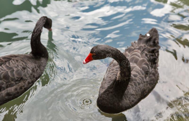 Paar zwarte zwanen die op water drijven royalty-vrije stock afbeelding