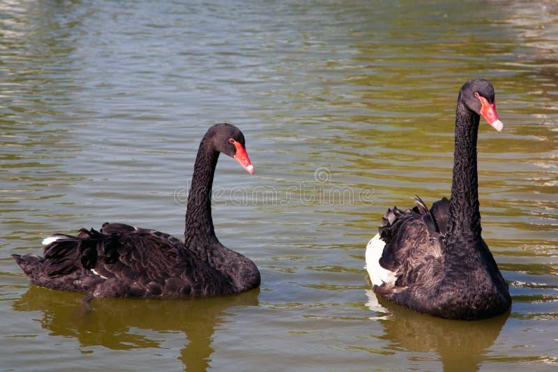 Paar zwarte zwanen op het water stock foto's