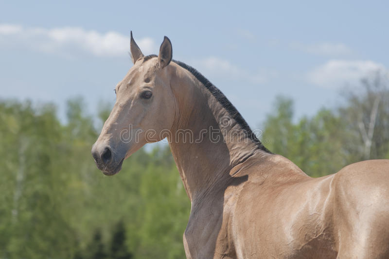 Paard Akhal -akhal-teke stock foto's