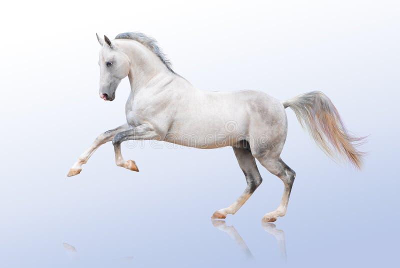 Paard Akhal -akhal-teke op wit stock afbeelding