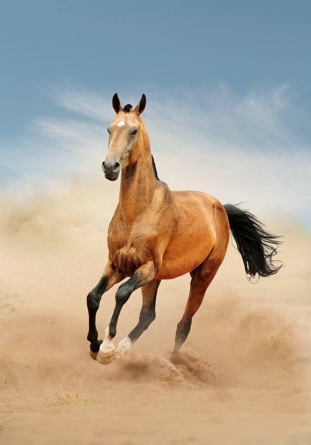 Paard Akhal die in woestijn lopen stock foto's