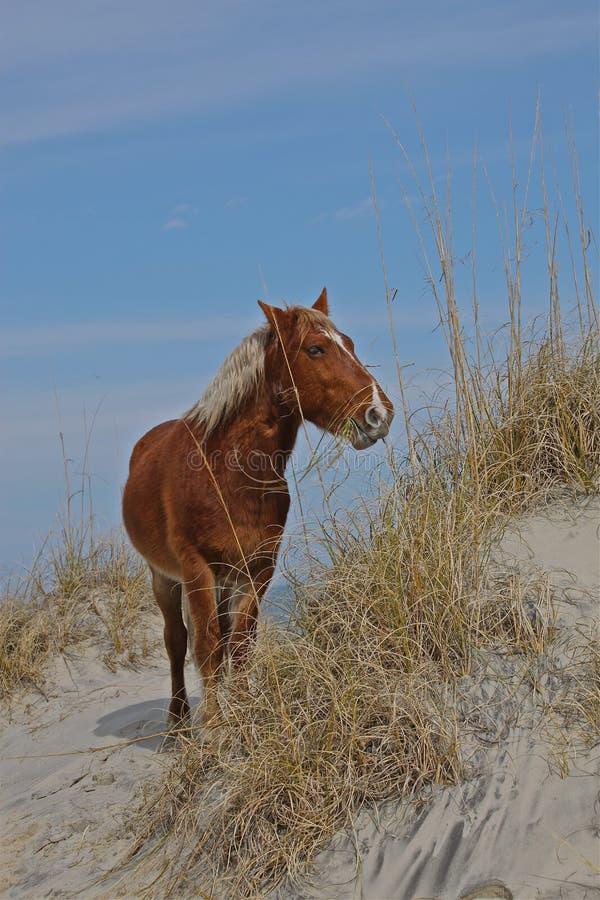 Paard bij de strandduinen stock foto's