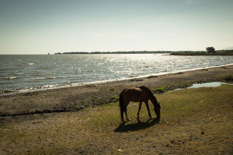 Paard bij meer Managua in Granada, Nicaragua royalty-vrije stock fotografie