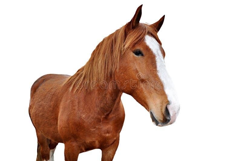 Paard dat op wit wordt geïsoleerdw stock foto's