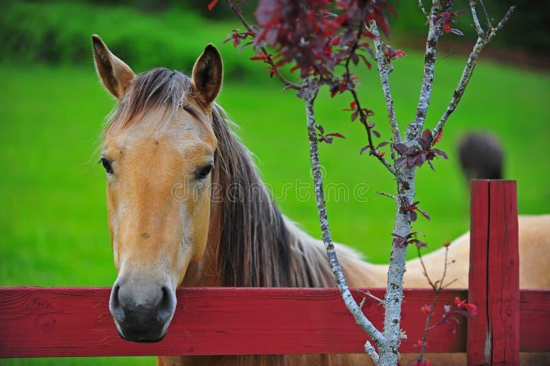 Paard dat over de omheining kijkt stock afbeelding