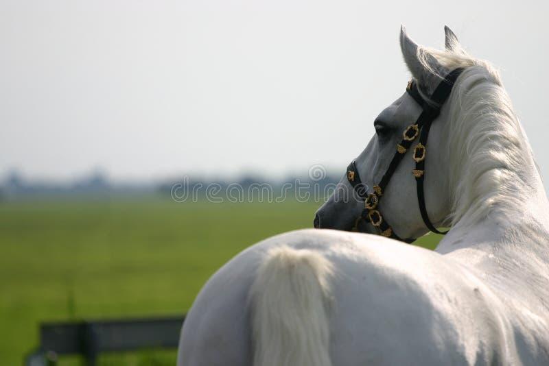 Paard dat weg eruit ziet stock afbeelding