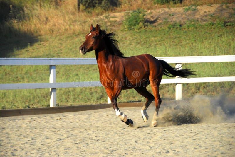 Paard dat zonder ruiter op vuil loopt stock foto
