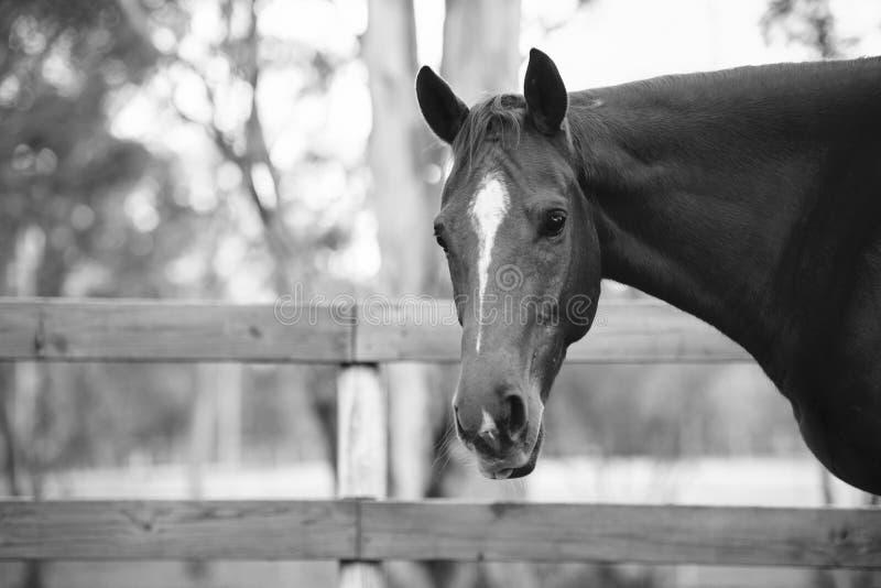 Paard in de paddock royalty-vrije stock afbeelding