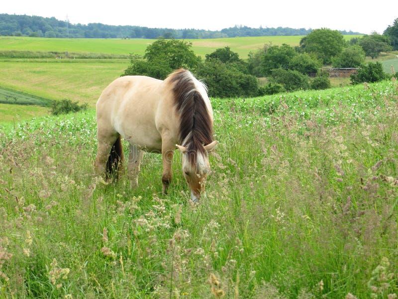 Paard in de wildernis bij het weiden stock foto