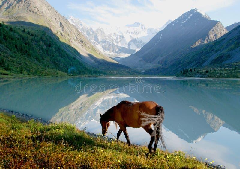 Paard dichtbij bergmeer Ak -ak-kem, Altai, Rusland, wild landschap stock afbeeldingen