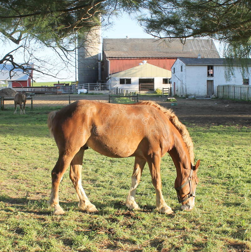 Paard die gras op een Amish-landbouwbedrijf eten royalty-vrije stock afbeeldingen