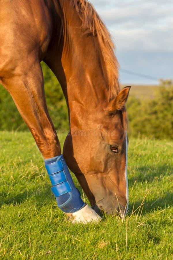 Paard die gras op gebied eten stock afbeelding
