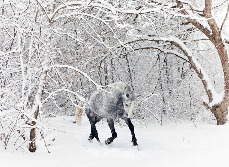 Paard die het lopen in nieuwe gevallen sneeuw castreren royalty-vrije stock fotografie